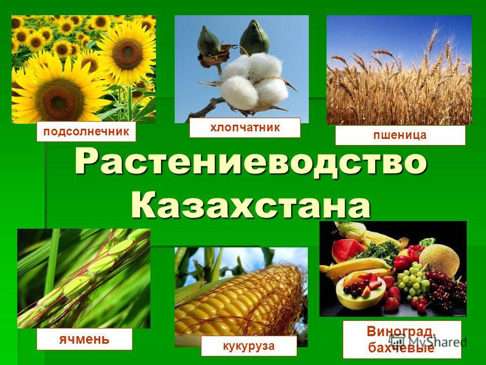Растениеводство Казахстана подсолнечник хлопчатник пшеница кукуруза Виноград, бахчевые ячмень