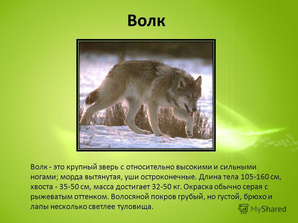 Волк Волк - это крупный зверь с относительно высокими и сильными ногами; морда вытянутая, уши остроконечные. Длина тела 105-160 см, хвоста - 35-50 см, масса достигает 32-50 кг. Окраска обычно серая с рыжеватым оттенком. Волосяной покров грубый, но гу