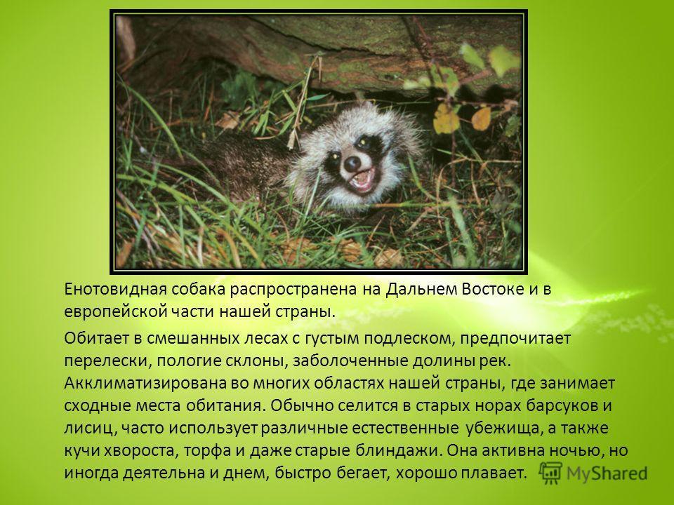 Енотовидная собака распространена на Дальнем Востоке и в европейской части нашей страны. Обитает в смешанных лесах с густым подлеском, предпочитает перелески, пологие склоны, заболоченные долины рек. Акклиматизирована во многих областях нашей страны,