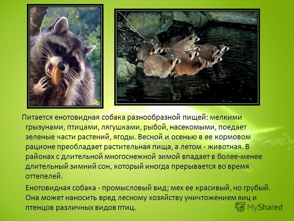 Питается енотовидная собака разнообразной пищей: мелкими грызунами, птицами, лягушками, рыбой, насекомыми, поедает зеленые части растений, ягоды. Весной и осенью в ее кормовом рационе преобладает растительная пища, а летом - животная. В районах с дли
