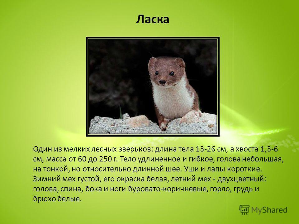 Ласка Один из мелких лесных зверьков: длина тела 13-26 см, а хвоста 1,3-6 см, масса от 60 до 250 г. Тело удлиненное и гибкое, голова небольшая, на тонкой, но относительно длинной шее. Уши и лапы короткие. Зимний мех густой, его окраска белая, летний