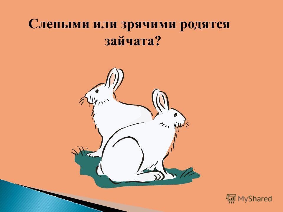 Слепыми или зрячими родятся зайчата?