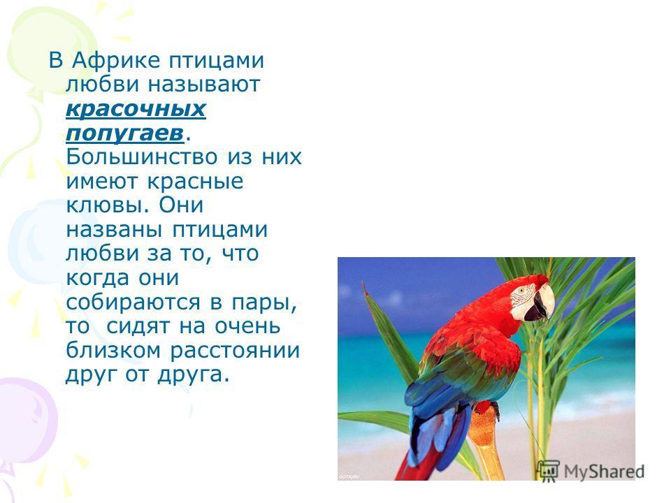 В Африке птицами любви называют красочных попугаев. Большинство из них имеют красные клювы. Они названы птицами любви за то, что когда они собираются в пары, то сидят на очень близком расстоянии друг от друга.