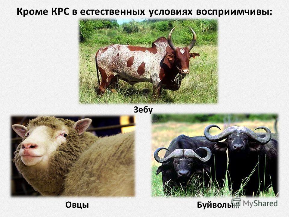 Кроме КРС в естественных условиях восприимчивы: Зебу Буйволы Овцы