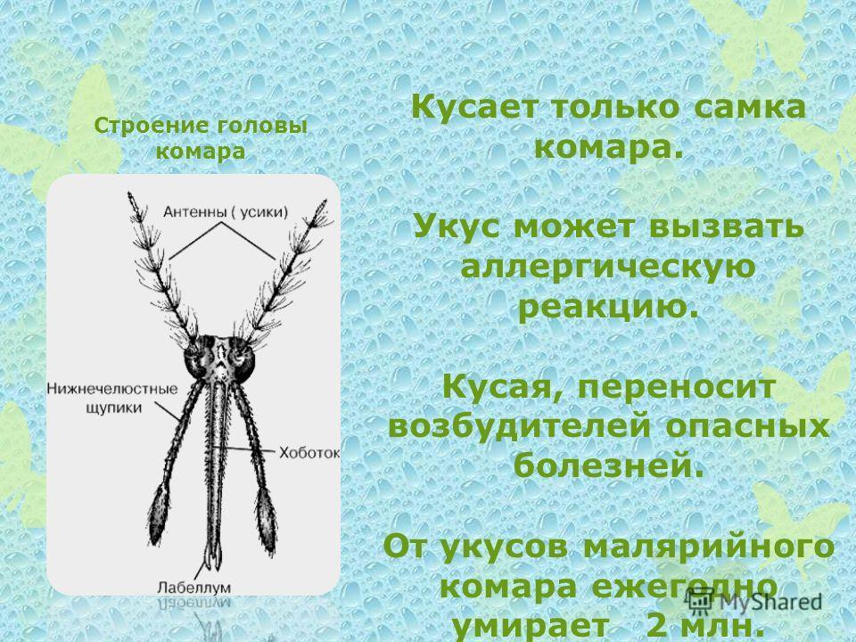 Строение головы комара Кусает только самка комара. Укус может вызвать аллергическую реакцию. Кусая, переносит возбудителей опасных болезней. От укусов малярийного комара ежегодно умирает 2 млн. человек.
