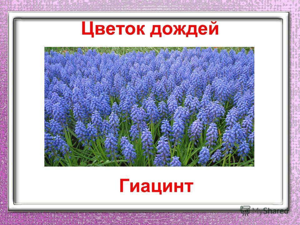 Цветок дождей Гиацинт