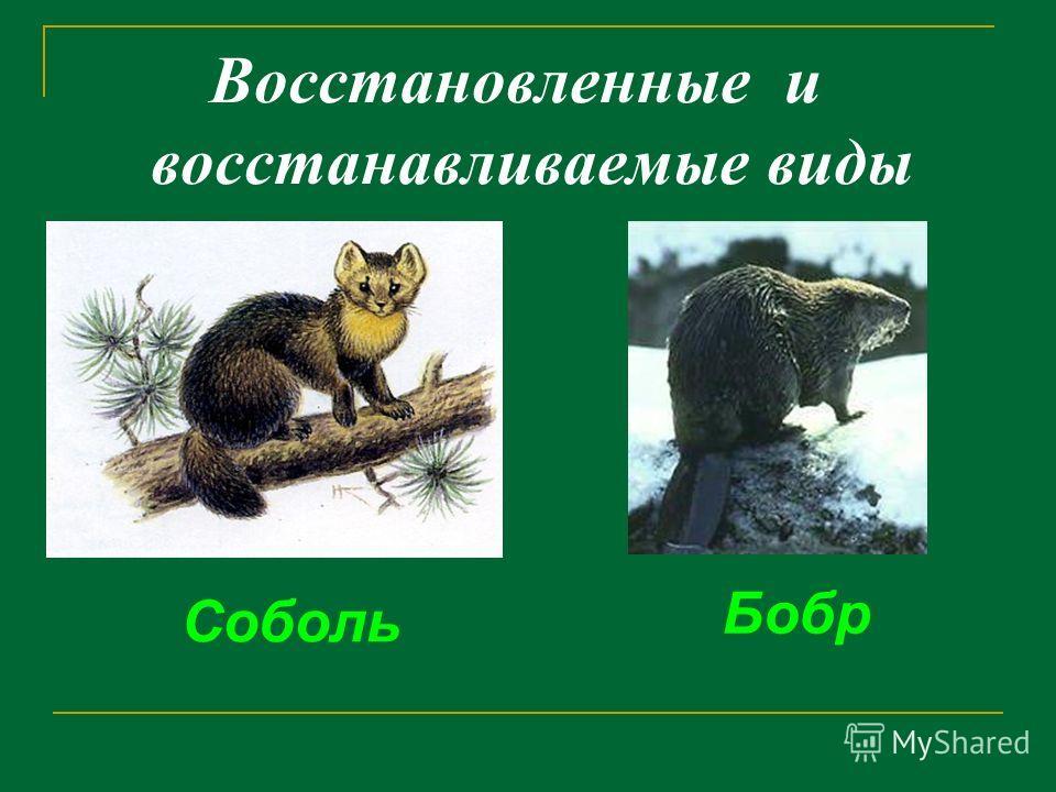 Восстановленные и восстанавливаемые виды Соболь Бобр