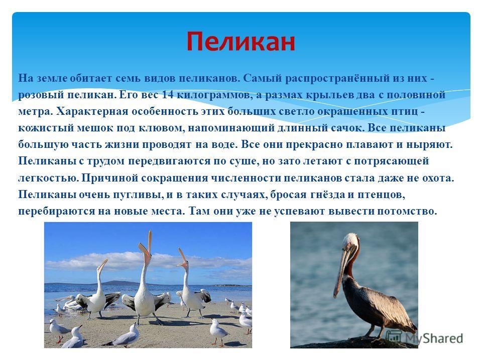На земле обитает семь видов пеликанов. Самый распространённый из них - розовый пеликан. Его вес 14 килограммов, а размах крыльев два с половиной метра. Характерная особенность этих больших светло окрашенных птиц - кожистый мешок под клювом, напоминаю