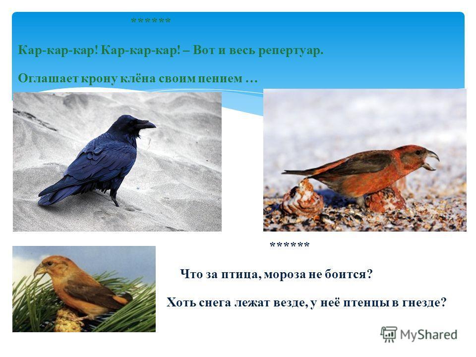 ****** Кар-кар-кар! Кар-кар-кар! – Вот и весь репертуар. Оглашает крону клёна своим пением … ****** Что за птица, мороза не боится? Хоть снега лежат везде, у неё птенцы в гнезде?