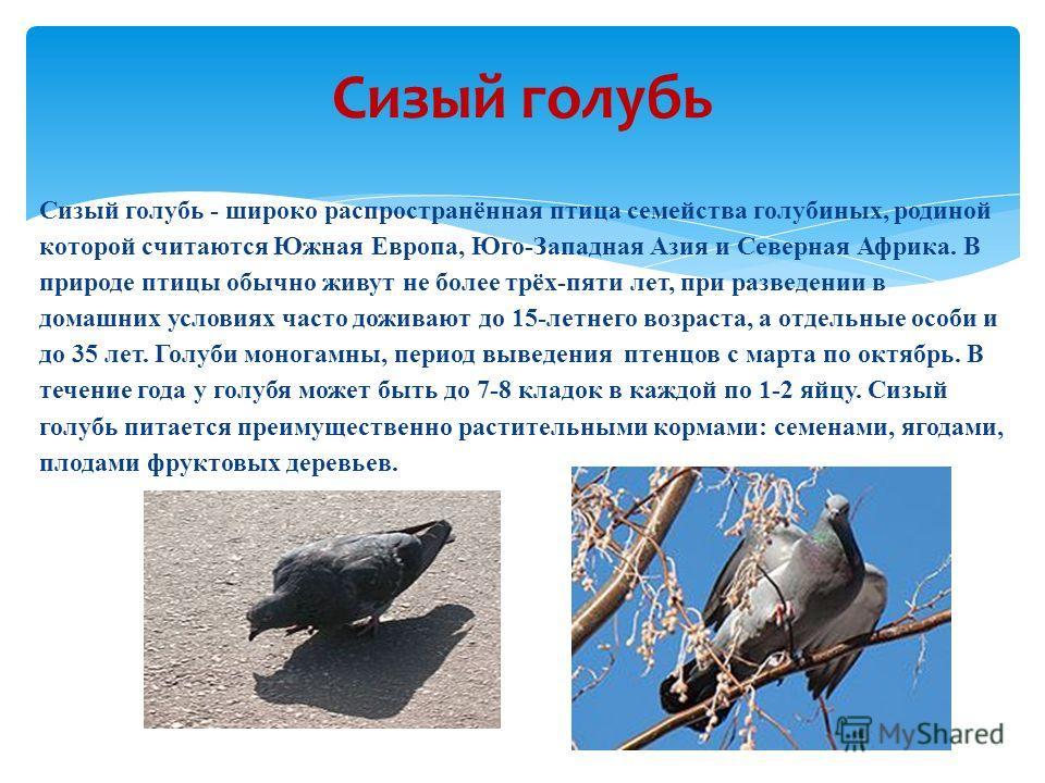 Сизый голубь - широко распространённая птица семейства голубиных, родиной которой считаются Южная Европа, Юго-Западная Азия и Северная Африка. В природе птицы обычно живут не более трёх-пяти лет, при разведении в домашних условиях часто доживают до 1