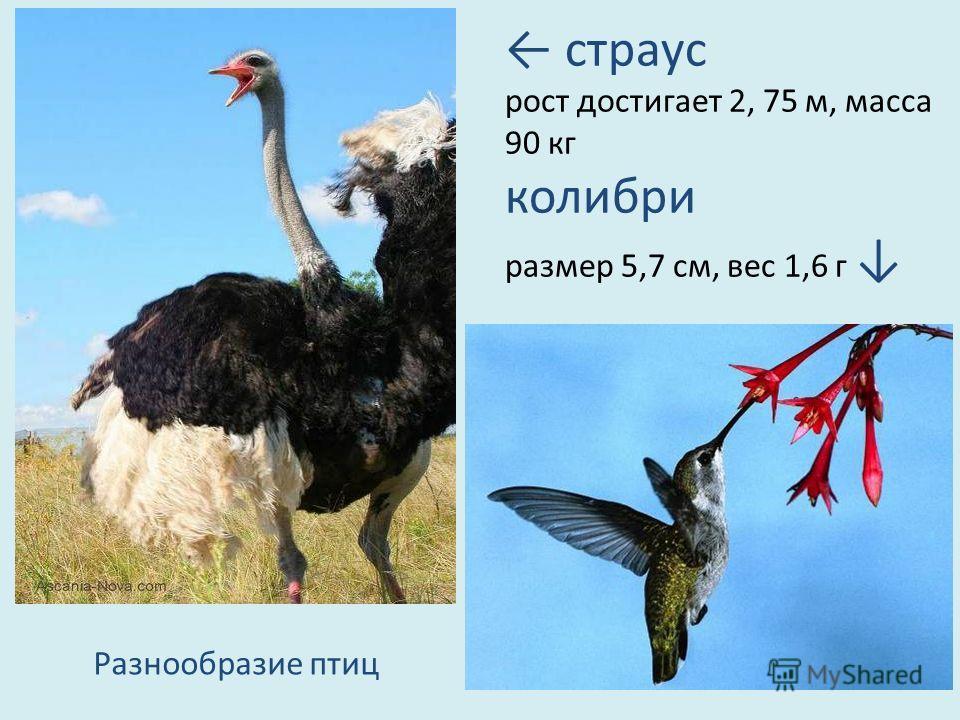страус рост достигает 2, 75 м, масса 90 кг колибри размер 5,7 см, вес 1,6 г Разнообразие птиц