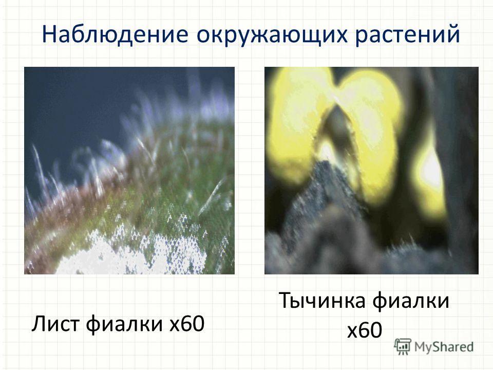 Лист фиалки х 60 Наблюдение окружающих растений Тычинка фиалки х 60