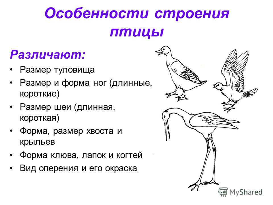 Особенности строения птицы Различают: Размер туловища Размер и форма ног (длинные, короткие) Размер шеи (длинная, короткая) Форма, размер хвоста и крыльев Форма клюва, лапок и когтей Вид оперения и его окраска