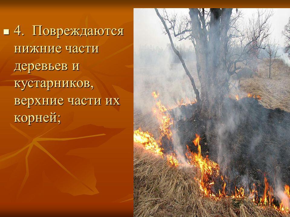 4. Повреждаются нижние части деревьев и кустарников, верхние части их корней; 4. Повреждаются нижние части деревьев и кустарников, верхние части их корней;