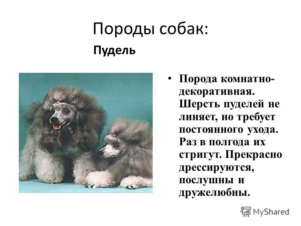 Породы собак: Порода комнатно- декоративная. Шерсть пуделей не линяет, но требует постоянного ухода. Раз в полгода их стригут. Прекрасно дрессируются, послушны и дружелюбны. Пудель