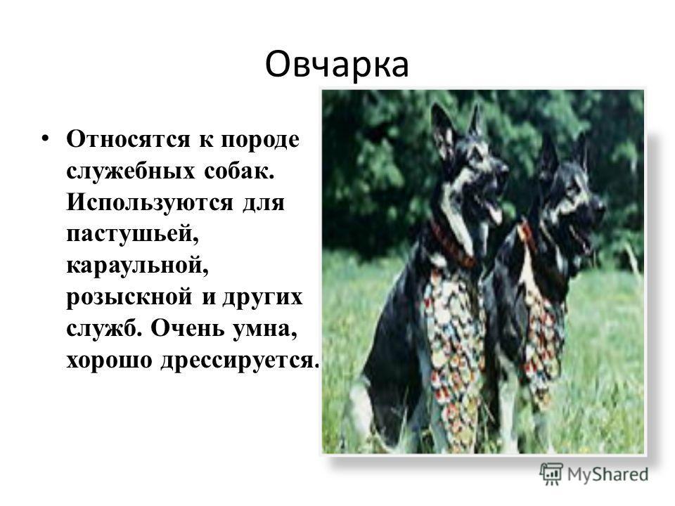 Овчарка Относятся к породе служебных собак. Используются для пастушьей, караульной, розыскной и других служб. Очень умна, хорошо дрессируется.