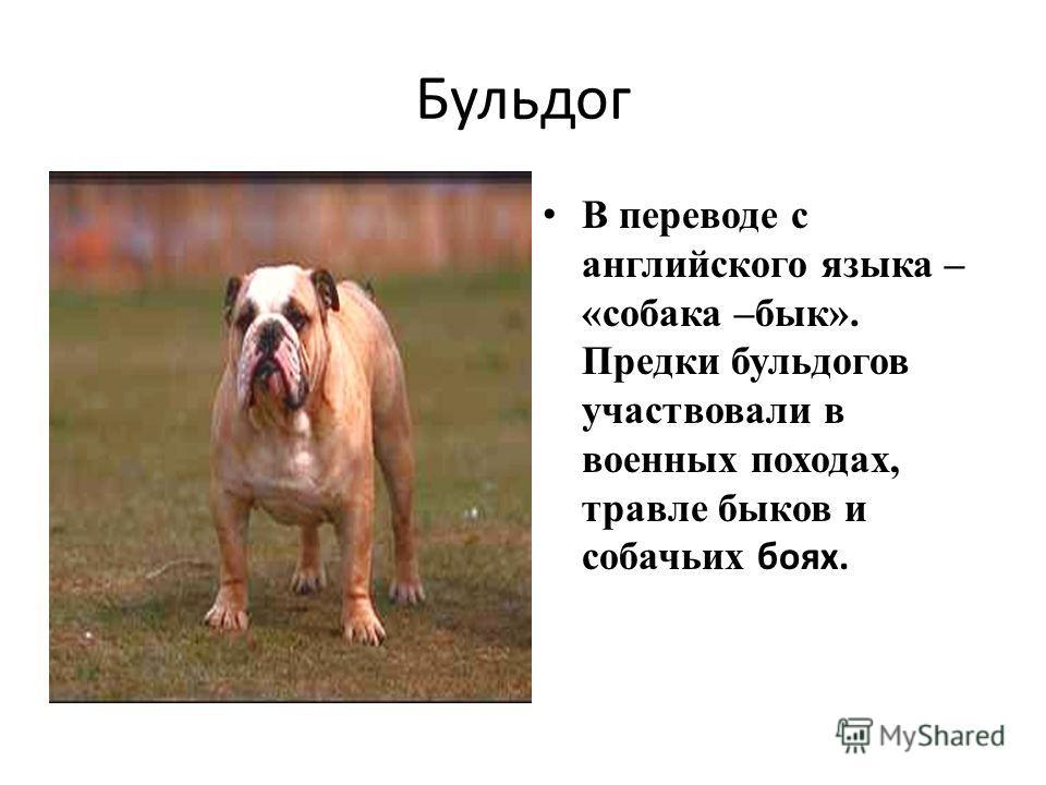 Бульдог В переводе с английского языка – «собака –бык». Предки бульдогов участвовали в военных походах, травле быков и собачьих боях.