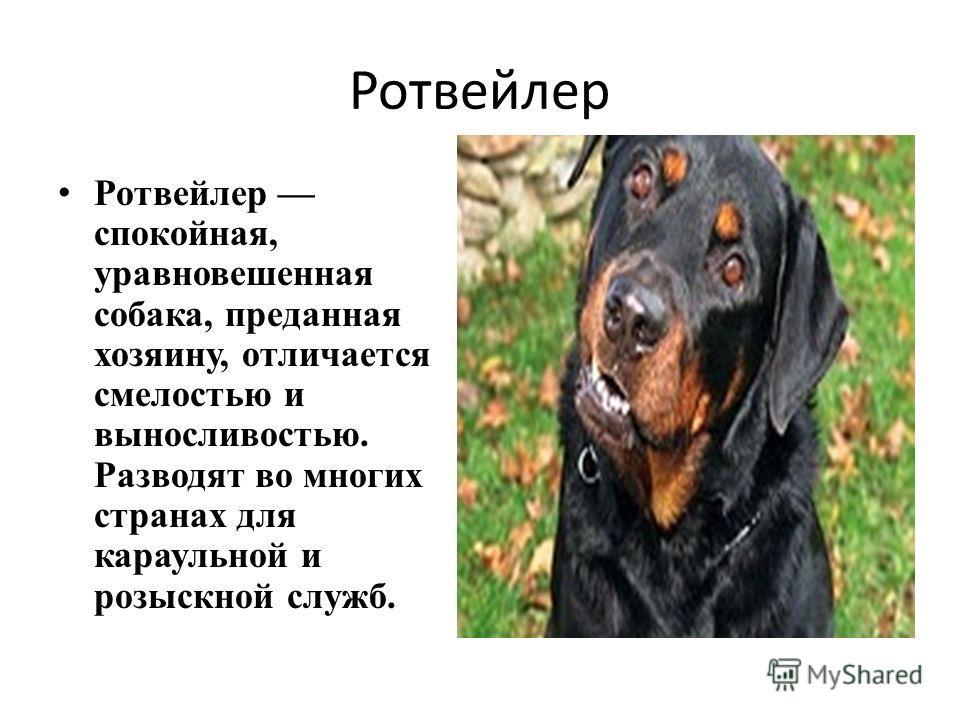 Ротвейлер Ротвейлер спокойная, уравновешенная собака, преданная хозяину, отличается смелостью и выносливостью. Разводят во многих странах для караульной и розыскной служб.