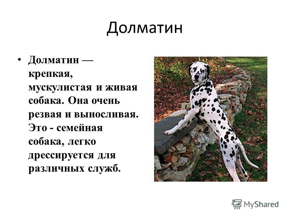 Долматин Долматин крепкая, мускулистая и живая собака. Она очень резвая и выносливая. Это - семейная собака, легко дрессируется для различных служб.