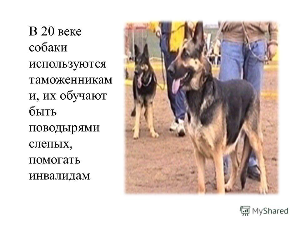 В 20 веке собаки используются таможенникам и, их обучают быть поводырями слепых, помогать инвалидам.