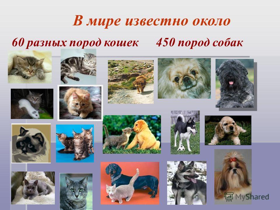 В мире известно около 60 разных пород кошек 450 пород собак