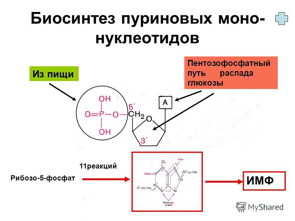 Биосинтез пуриновых моно- нуклеотидов Из пищи Пентозофосфатный путь распада глюкозы Рибозо-5-фосфат ИМФ 11 реакций