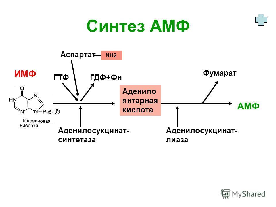 Синтез АМФ Аденило янтарная кислота АМФ ИМФ Аденилосукцинат- синтетаза Фумарат ГТФ ГДФ+Фн Аденилосукцинат- лиаза Аспартат NH2