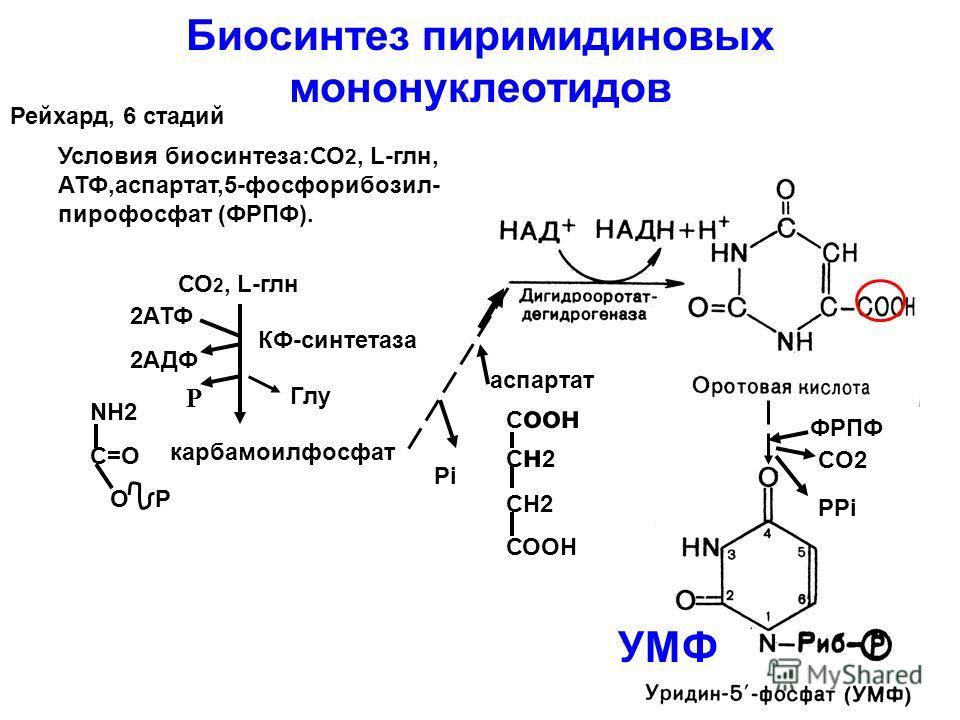 Биосинтез пиримидиновых мононуклеотидов Рейхард, 6 стадий Условия биосинтеза:СО 2, L-глн, АТФ,аспартат,5-фосфорибозил- пирофосфат (ФРПФ). NH2 C=O O P карбамоилфосфат 2АТФ 2АДФ КФ-синтетаза аспартат С оон С н 2 СН2 СООН Pi ФРПФ CO2 PPi УМФ СО 2, L-глн