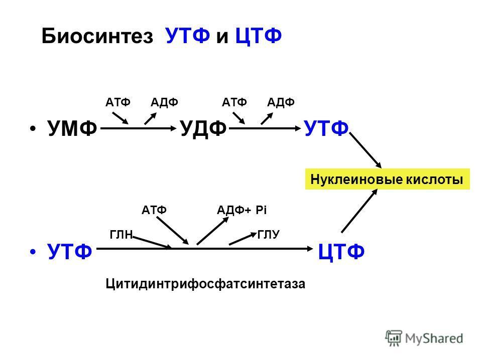 Биосинтез УТФ и ЦТФ УМФ УДФ УТФ УТФ ЦТФ АТФ АДФ ГЛН ГЛУ АТФ АДФ+ Pi Цитидинтрифосфатсинтетаза Нуклеиновые кислоты