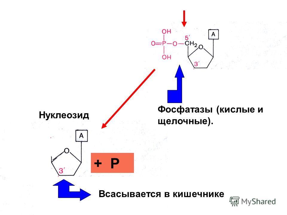 Нуклеозид + Р Всасывается в кишечнике Фосфатазы (кислые и щелочные).