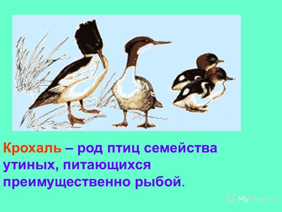 Крохаль – род птиц семейства утиных, питающихся преимущественно рыбой.