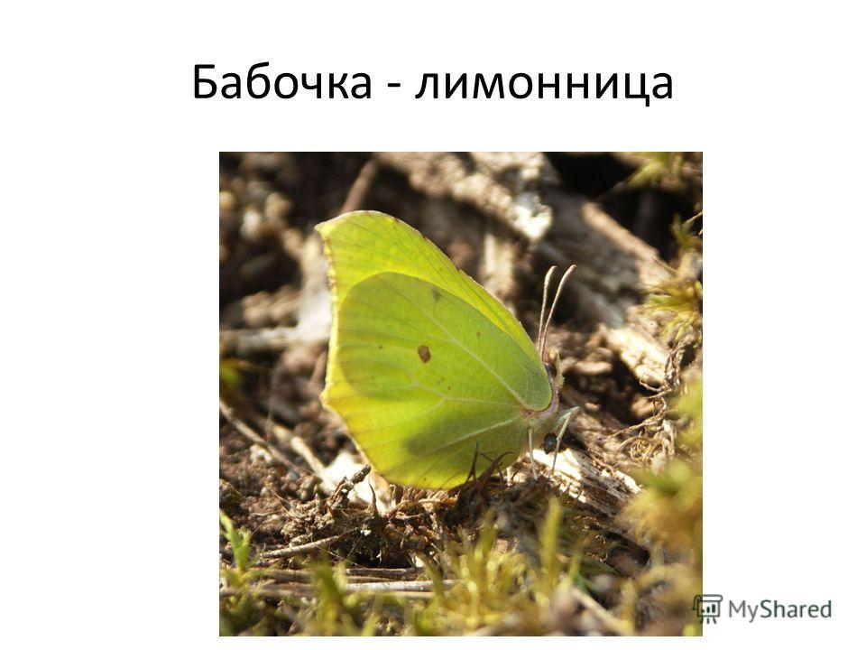 Бабочка - лимонница