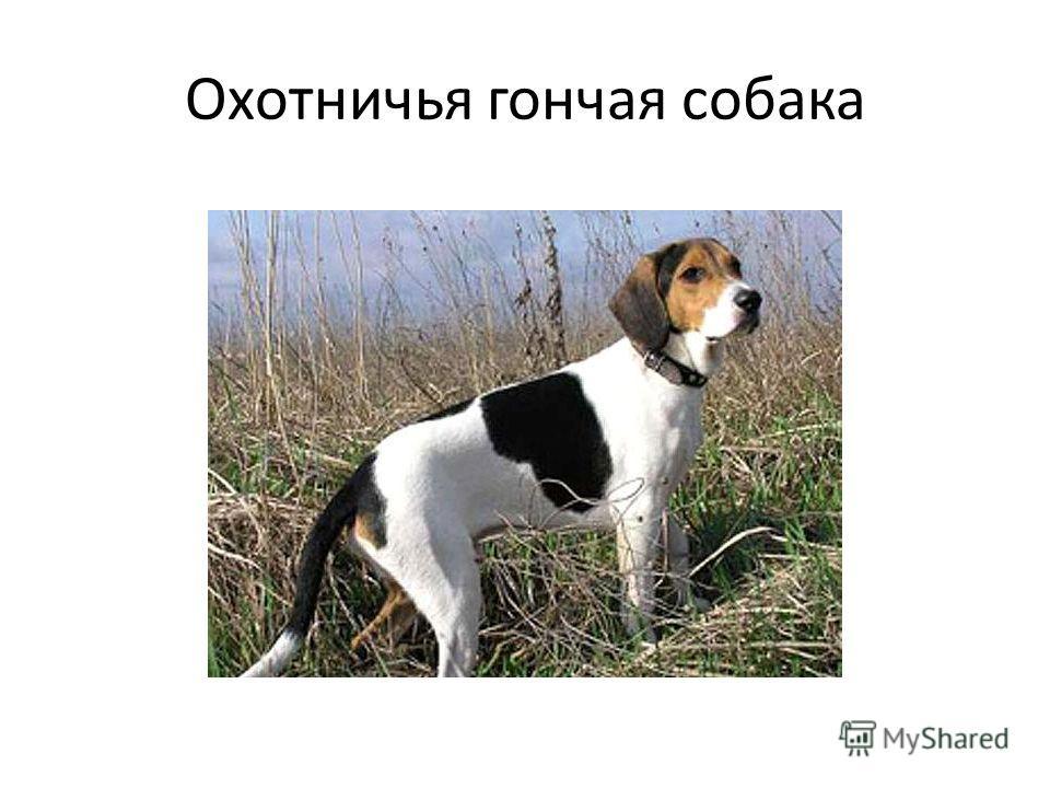 Охотничья гончая собака