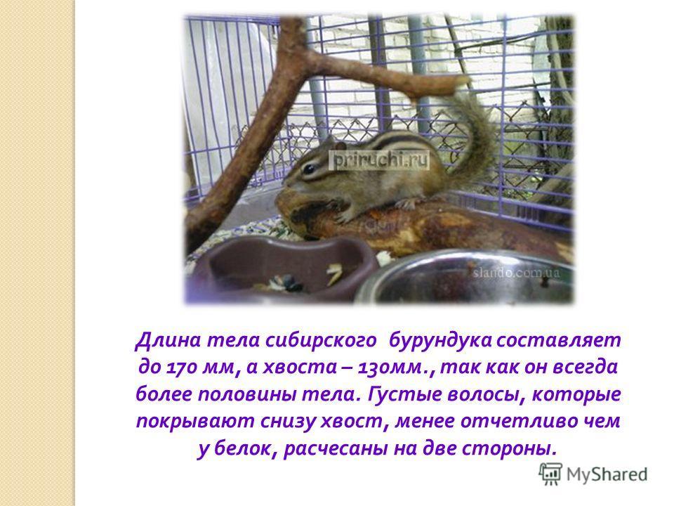 Длина тела сибирского бурундука составляет до 170 мм, а хвоста – 130 мм., так как он всегда более половины тела. Густые волосы, которые покрывают снизу хвост, менее отчетливо чем у белок, расчесаны на две стороны.
