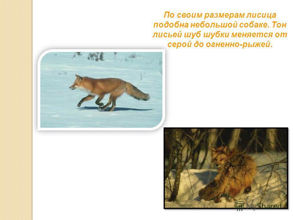 По своим размерам лисица подобна небольшой собаке. Тон лисьей шуб шубки меняется от серой до огненно-рыжей.
