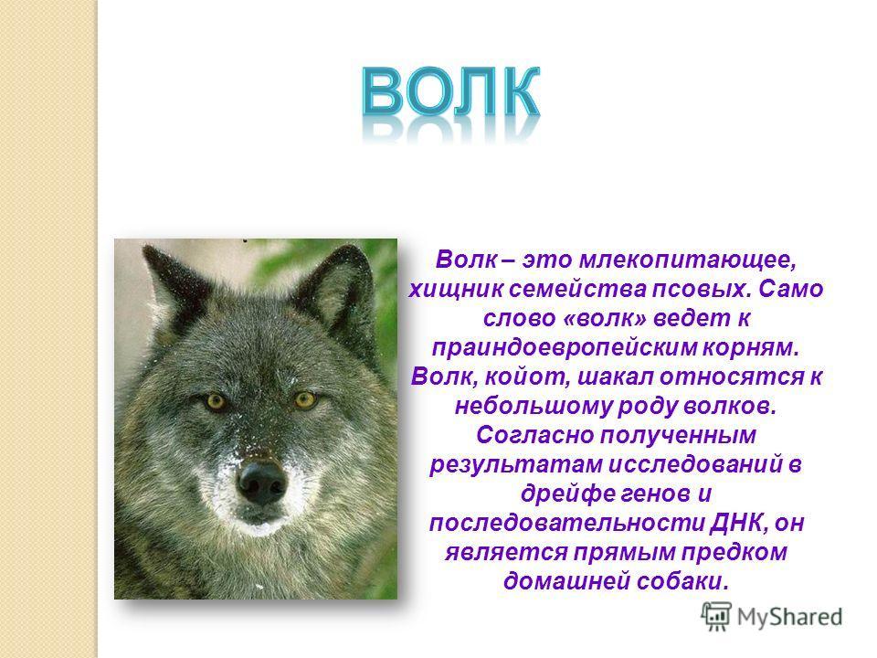 Волк – это млекопитающее, хищник семейства псовых. Само слово «волк» ведет к праиндоевропейским корням. Волк, койот, шакал относятся к небольшому роду волков. Согласно полученным результатам исследований в дрейфе генов и последовательности ДНК, он яв