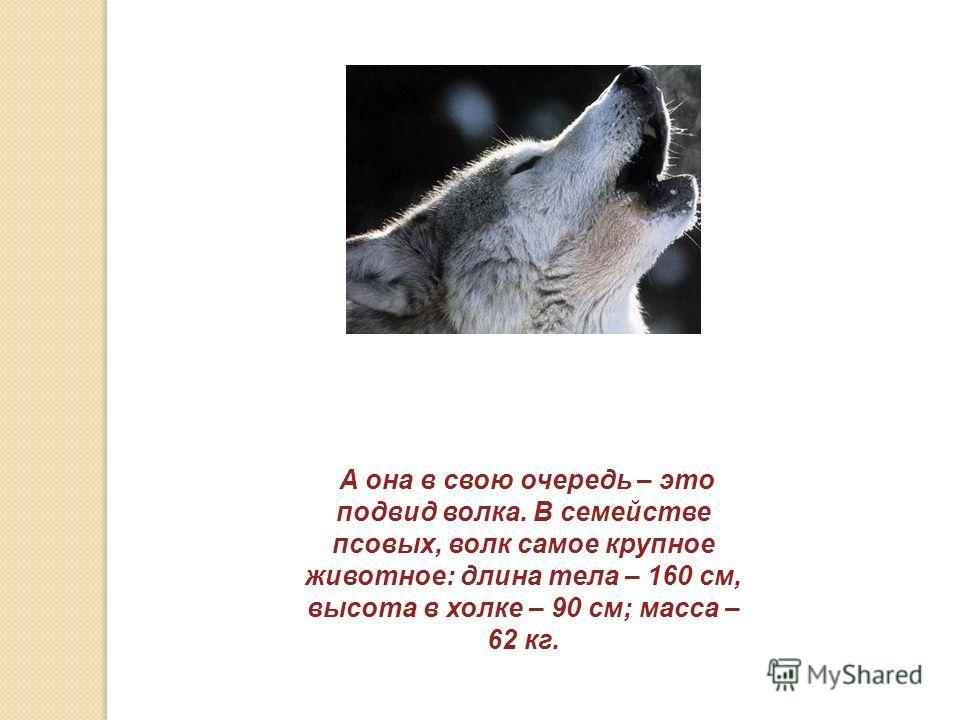 А она в свою очередь – это подвид волка. В семействе псовых, волк самое крупное животное: длина тела – 160 см, высота в холке – 90 см; масса – 62 кг.
