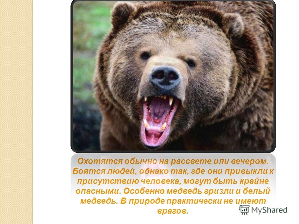 Охотятся обычно на рассвете или вечером. Боятся людей, однако так, где они привыкли к присутствию человека, могут быть крайне опасными. Особенно медведь гризли и белый медведь. В природе практически не имеют врагов.