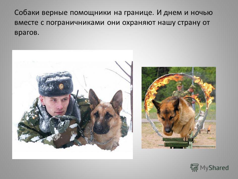 Собаки верные помощники на границе. И днем и ночью вместе с пограничниками они охраняют нашу страну от врагов.