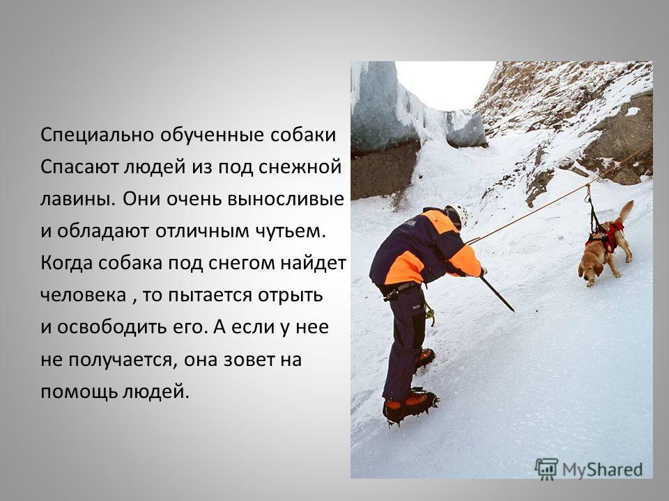 Специально обученные собаки Спасают людей из под снежной лавины. Они очень выносливые и обладают отличным чутьем. Когда собака под снегом найдет человека, то пытается отрыть и освободить его. А если у нее не получается, она зовет на помощь людей.