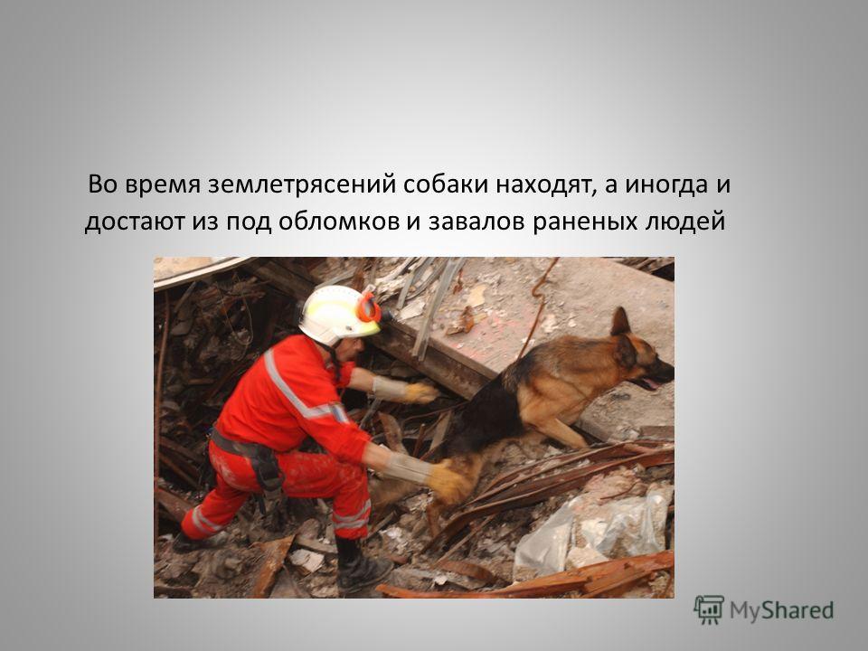 Во время землетрясений собаки находят, а иногда и достают из под обломков и завалов раненых людей