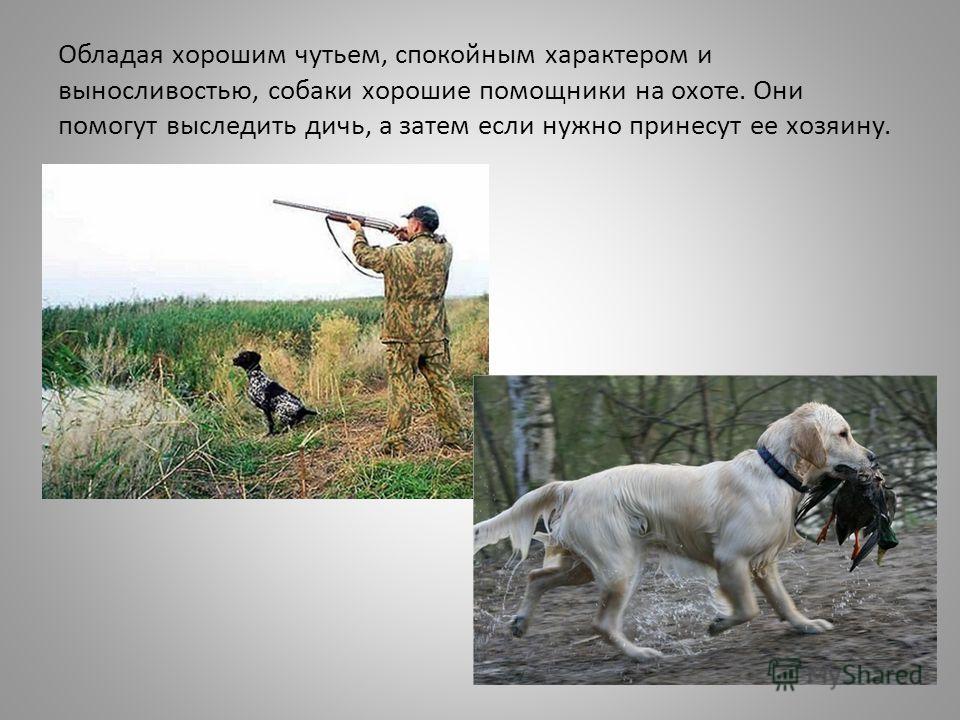 Обладая хорошим чутьем, спокойным характером и выносливостью, собаки хорошие помощники на охоте. Они помогут выследить дичь, а затем если нужно принесут ее хозяину.