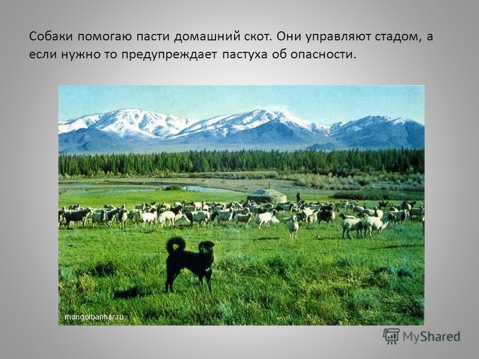 Собаки помогаю пасти домашний скот. Они управляют стадом, а если нужно то предупреждает пастуха об опасности.