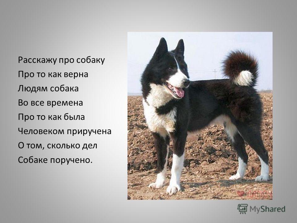 Расскажу про собаку Про то как верна Людям собака Во все времена Про то как была Человеком приручена О том, сколько дел Собаке поручено.