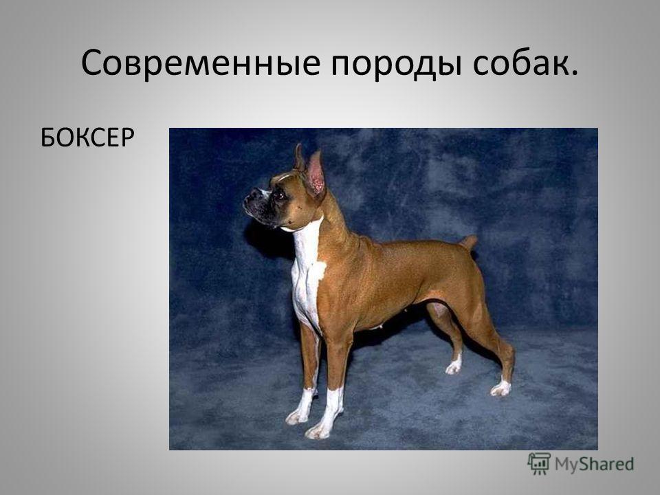 Современные породы собак. БОКСЕР