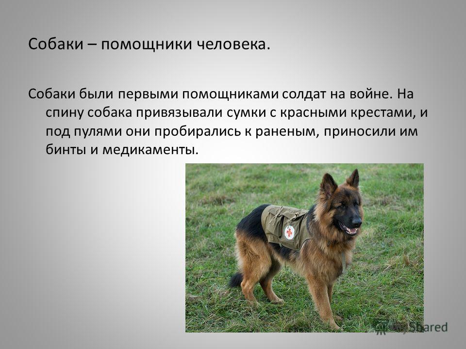 Собаки – помощники человека. Собаки были первыми помощниками солдат на войне. На спину собака привязывали сумки с красными крестами, и под пулями они пробирались к раненым, приносили им бинты и медикаменты.