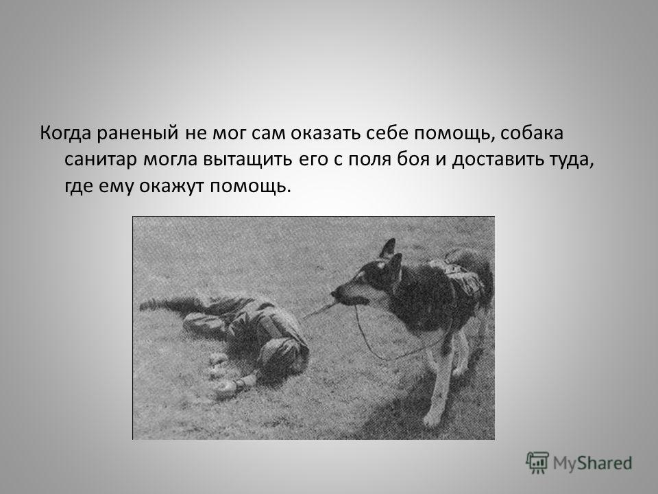 Когда раненый не мог сам оказать себе помощь, собака санитар могла вытащить его с поля боя и доставить туда, где ему окажут помощь.