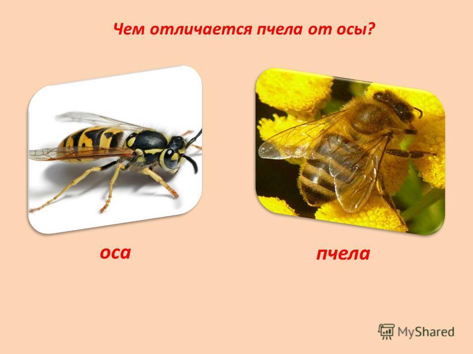Чем отличается пчела от осы? оса пчела