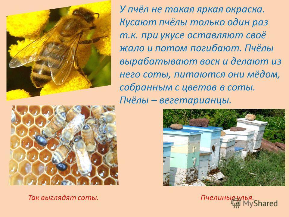 У пчёл не такая яркая окраска. Кусают пчёлы только один раз т.к. при укусе оставляют своё жало и потом погибают. Пчёлы вырабатывают воск и делают из него соты, питаются они мёдом, собранным с цветов в соты. Пчёлы – вегетарианцы. Пчелиные улья.Так выг