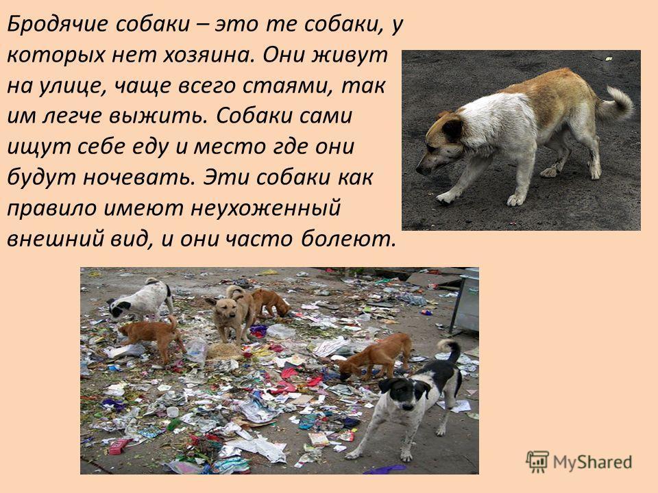Бродячие собаки – это те собаки, у которых нет хозяина. Они живут на улице, чаще всего стаями, так им легче выжить. Собаки сами ищут себе еду и место где они будут ночевать. Эти собаки как правило имеют неухоженный внешний вид, и они часто болеют.